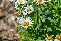 Leucanthemum × superbum Brightside in Jardin botanique de la Charme 04.jpg