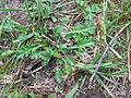 Leucanthemum vulgare leaf8 (14446320920).jpg