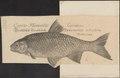 Leuciscus idus - 1700-1880 - Print - Iconographia Zoologica - Special Collections University of Amsterdam - UBA01 IZ14900055.tif