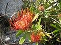 Leucospermum saxosum (4330095390).jpg