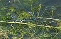 Libellen zijn gemakkelijke prooi voor vissen vooral tijdens de voortplanting.jpg
