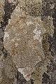 Lichen (29063749858).jpg