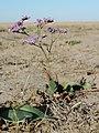 Limonium gmelinii - slatinski cvet.jpg