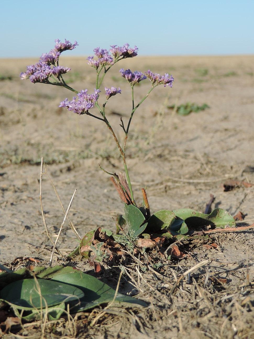Limonium gmelinii - slatinski cvet
