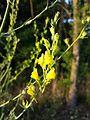 Linaria genistifolia sl9.jpg
