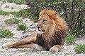 Lion (Panthera leo) male Etosha.jpg
