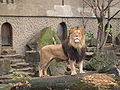 Lion Artis Zoo.jpg