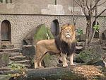 Lion Artis Zoo.jpg