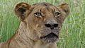 Lioness (Panthera leo) (6025774068).jpg