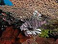 Lionfish hiding komodo.jpg