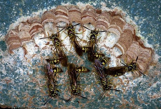Bộ sưu tập côn trùng 2 - Page 15 640px-Liostenogaster_Vechti._Photo._David_Baracchi