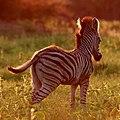 Little zebra at sunset at Marakele National Park (36580253381).jpg