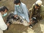 Livestock vaccination 1 (16294027027).jpg