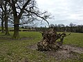 Living trees and roots of a stump - geograph.org.uk - 1749629.jpg