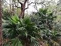 Livistona australis 28160760339 48e9dd6894 o.jpg