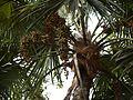 Livistona rotundifolia (4630495645).jpg