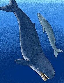 梅氏利維坦鯨(左)、新鬚鯨(右)