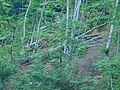 Logging at National park Kopaonik. Beech forest.jpg