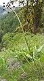 Lomatium dissectum var. dissectum flowering 2.jpg