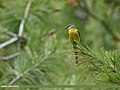 Long-tailed Minivet (Pericrocotus ethologus) (28166892146).jpg