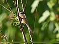 Long-tailed Shrike (Lanius schach) (28491089533).jpg