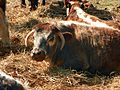 Longhorn Cattle (5655486164).jpg