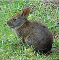 Lower Keys marsh rabbit 2.jpg