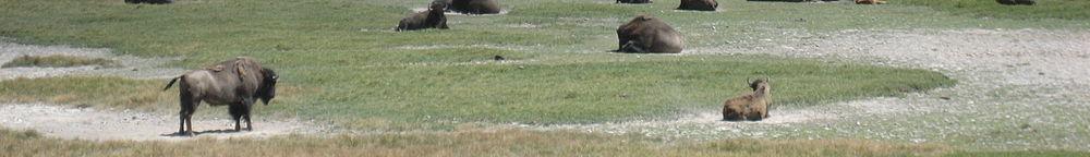 Lumpytrout Montana wikivoyage page banner Yellowstone Bison.jpg