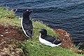 Lunga Treshnish Isles Alca torda 8.jpg