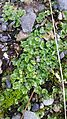 Lunularia at entrance to Red Rocks trail1.jpg
