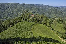 Lush Green Tea Gardens are what makes Ilam district popular.