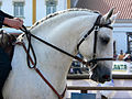 Lusitano head 1.jpg