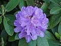 Luther-Friedhof.hellblauer.Rhododendron.2.jpg