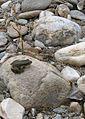 Méjannes-le-Clap abc7 Cèze grenouille.jpg