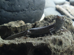 Lizard, seen from the right, with its head bent to the right, on a rock.
