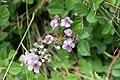 Macchiabjörnbär (Rubus ulmifolius)-2973 - Flickr - Ragnhild & Neil Crawford.jpg