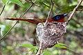 Madagascar paradise flycatcher (Terpsiphone mutata) nesting female.jpg