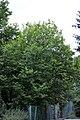 Magnolia Kobus Franka 133 RB.jpg
