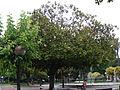 Magnolia grandiflora.102 - A Coruña.JPG