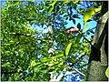 Magnolia kobus fruits - October 2013 - Master Botany Photography -Botanischer Garten Freiburg - panoramio.jpg