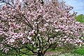 Magnolias (8731205535).jpg