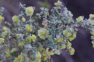 <i>Maireana pyramidata</i> Species of plant