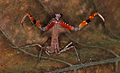 Malaysian Dead Leaf Mantis (Deroplatys lobata) threat display (8739099146).jpg