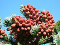 Male Cones of Noble Fir.JPG