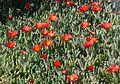 Malephora crocea - an introduced member of Aizoaceae - Flickr - S. Rae.jpg