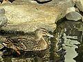 Mallard Duck - Hen 2.JPG
