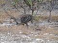 Mallee fowl 3.jpg