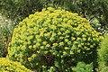 Malta - Mellieha - Triq Ghajn Tuffieha(Mgarr) - Gaia Peace Grove - Euphorbia dendroides 02 ies.jpg