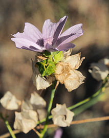 Malva tournefortiana 20140808-a.jpg