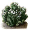 Mammillaria glochidiata BlKakteenT64.jpg